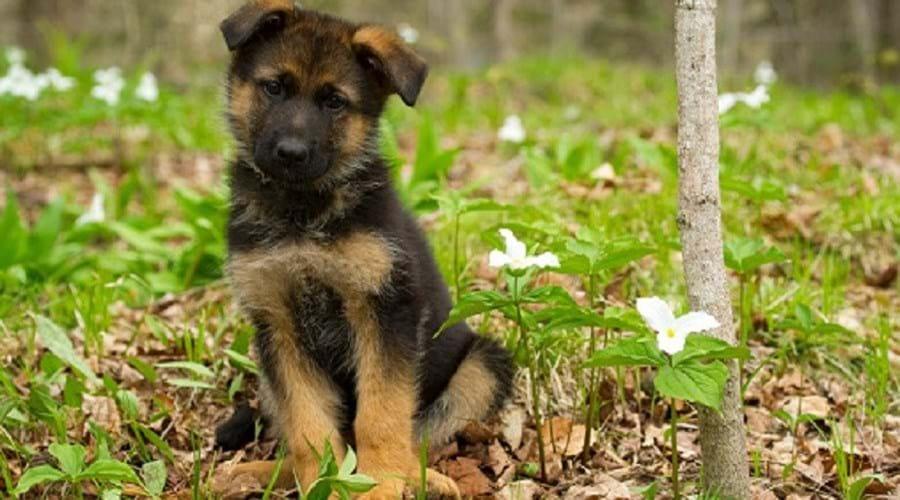 Cão de raça pastor-alemão