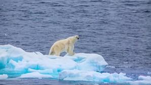 Ursos polares famintos invadem vila na Rússia à procura de comida