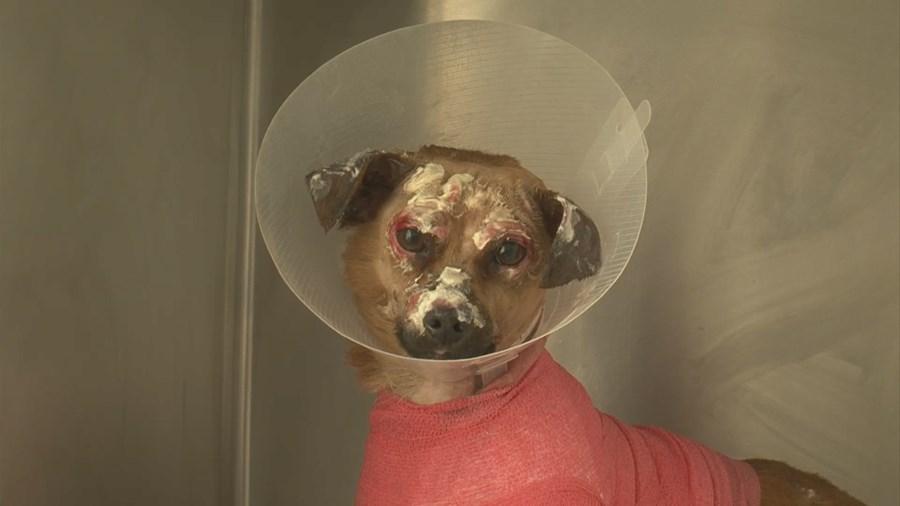 Pepe, acidentes e desastres, incêndios, cão, queimado