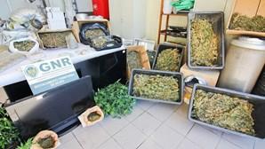 Seis estufas de droga apreendidas a ingleses