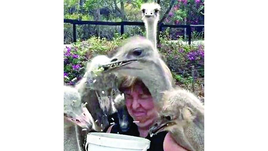 Avestruzes, ataque, mulher, áfrica do sul, parque natural