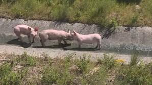 Camião carregado de porcos despista-se na A13