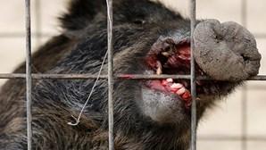 Javalis matam três terroristas do Daesh