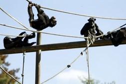 Chimpazés