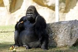 Gorila a comer