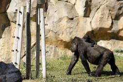 Mãe e filho gorila