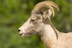 Carneiro matou pastor com cornos