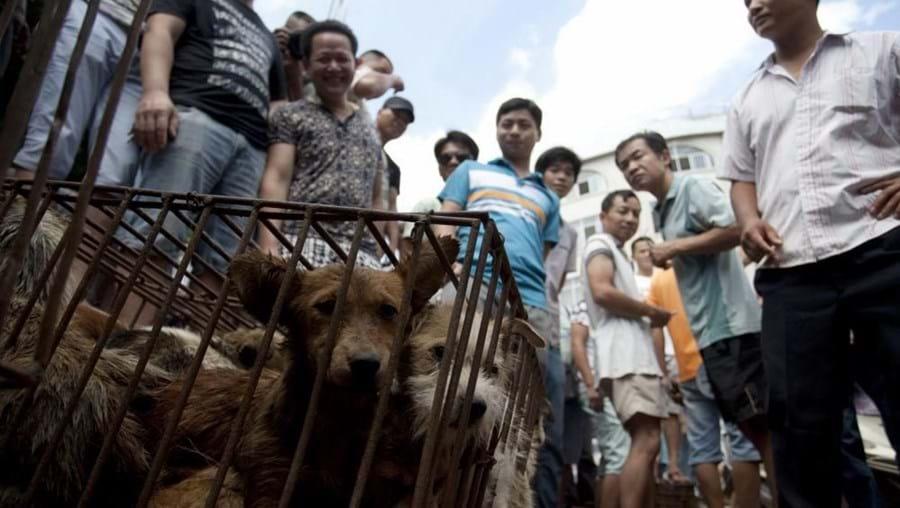 Antes de serem espancados até à morte os cães estão presos em gaiolas