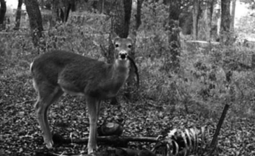 Um cervo, animal dócil conotado com o Bambi, a alimentar-se de restos mortais humanos