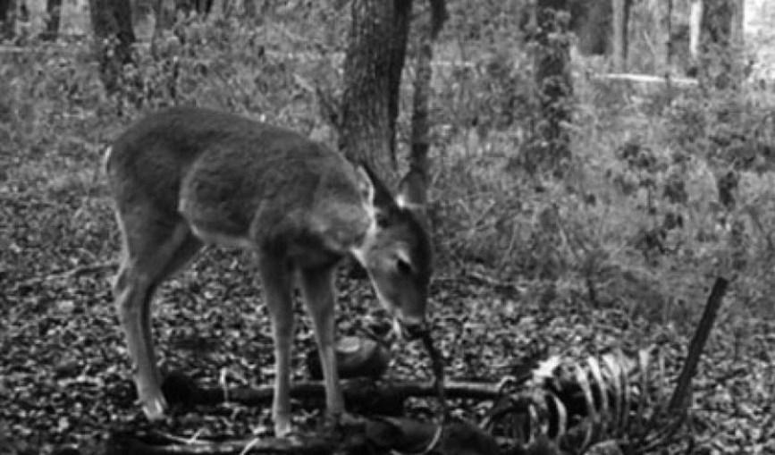 O animal debruçado sobre os restos mortais humanos