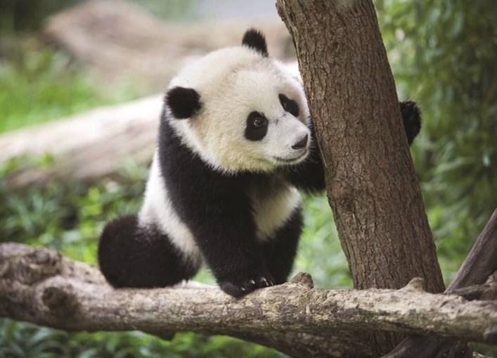Pandas Gigantes Hao Hao e Xing Hui são um símbolo do parque