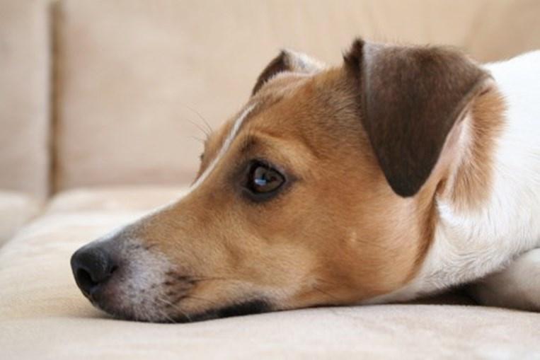 Cão de raça Jack Russell