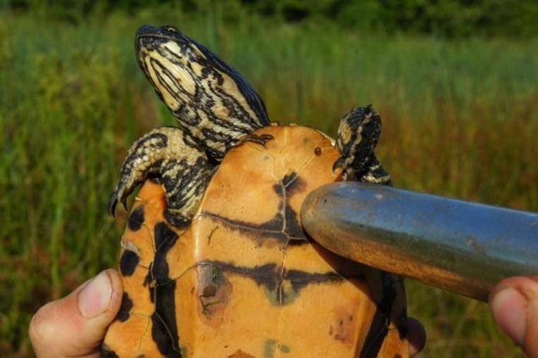 Vibradores estimulam tartaruga e permitem determinar sexo do animal