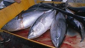 GNR apreende quase meio milhão de euros em atum-rabilho em Viana do Castelo