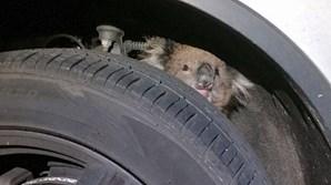 Koala sobrevive a viagem de 16 quilómetros em roda de jipe