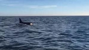 Orcas atacam veleiro ao largo da Fonte da Telha