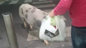 Porco passeou por supermercado de Alcochete
