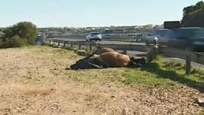 Ferido com gravidade em colisão de carro com cavalos na EN 125