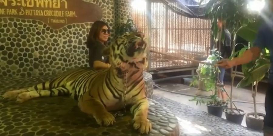 Tigre sofre maus tratos todos os dias para turistas poderem tirar foto