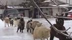 Cabras escorregam no gelo