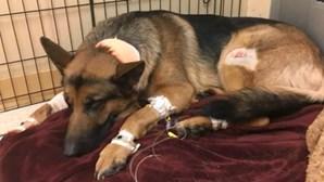 Cão é baleado por assaltantes ao proteger dono de 16 anos
