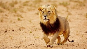 Homem é morto por leão que tinha na sua propriedade na República Checa