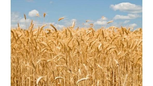 Pão enriquecido com gérmen de trigo diminui desconforto intestinal