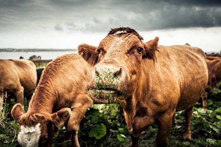 A vaca foi morta por veneno de cobra