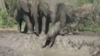 Ajuda de anciãos salva bebé elefante