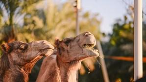 Passeios de dromedário no Badoca Safari Park