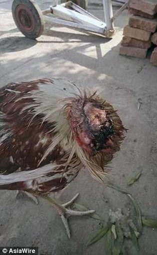 Galo sobrevive durante uma semana sem cabeça e é adotado