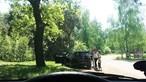Vídeo mostra família com crianças a ser atacada por chitas em parque natural