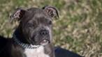 Dono morre atacado por cão Pitbull após sofrer convulsão