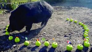 Porco e gato são adivinhos do Mundial da Rússia