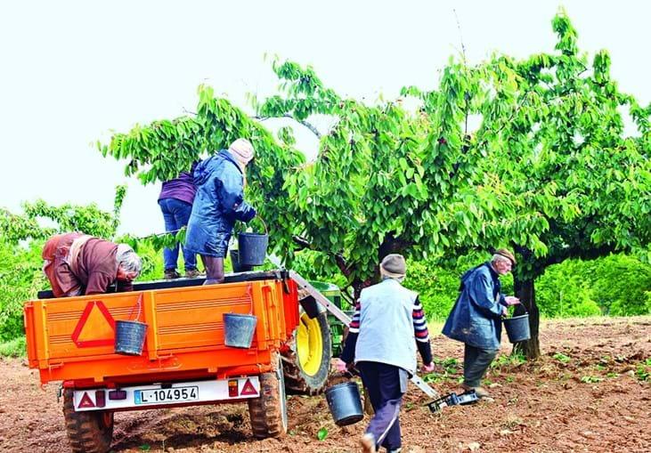 Produção de cereja