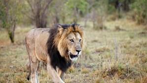 Sete leões que aterrorizavam a população de Moçambique capturados