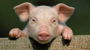 Vídeo mostra porco com cara de humano