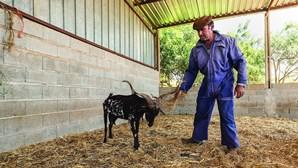 Dezenas de ovelhas e cabras envenenadas em Olhão