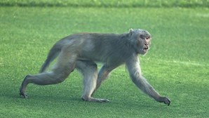 Polícia procura macaco que raptou criança