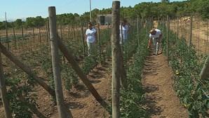 Reclusas do Centro Prisional de Tires criam horta biológica