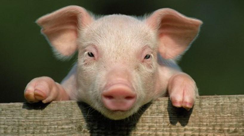 Resultado de imagem para foto de um porco