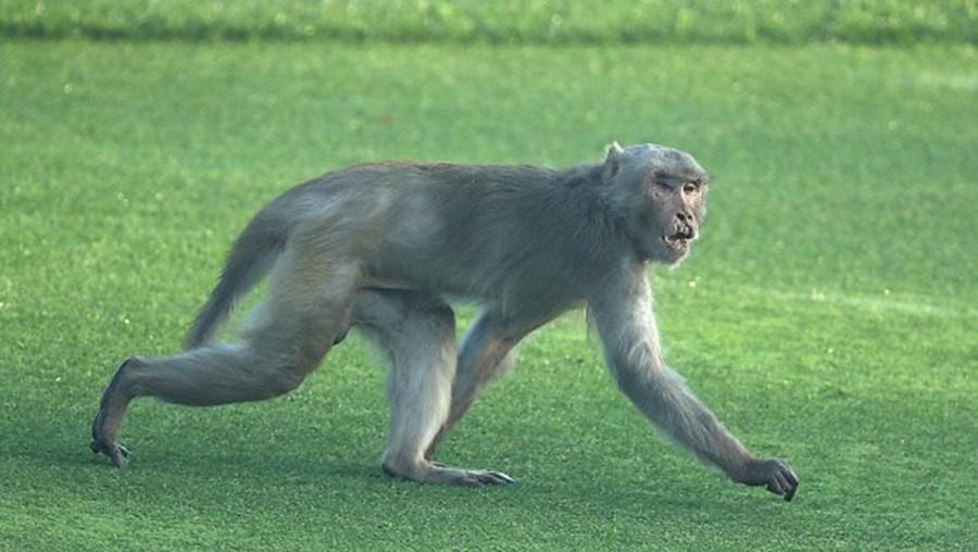 Macacos já são conhecidos por causar desacatos na India