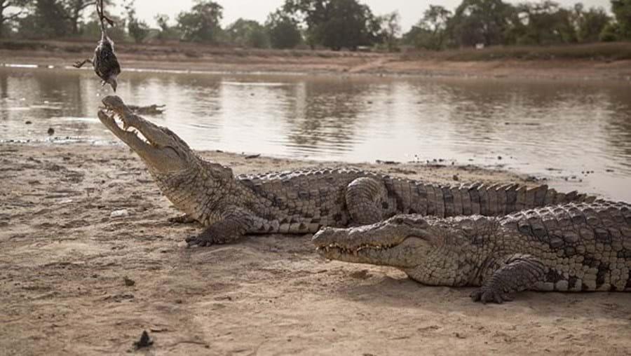 Crocodilo atacou a criança