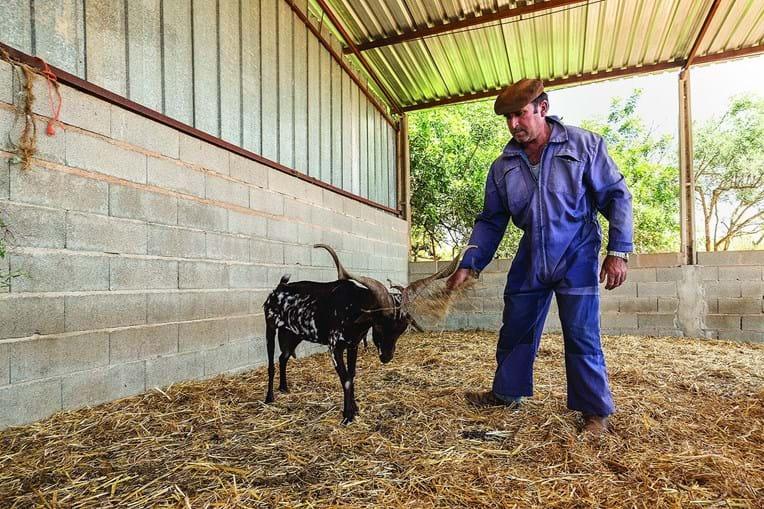 """José Soares já enterrou 19 cabras desde novembro e tem mais três animais """"à espera de morrer"""""""