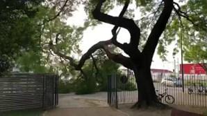 Ramo de árvore gigante cai em jardim de Lisboa