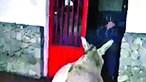 Bombeiros dão nome de Maduro a um burro