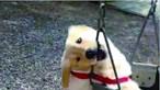 Cão não resiste a baloiço e começa a roê-lo