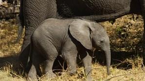 Elefantes destroem produção agrícola perto de Luanda