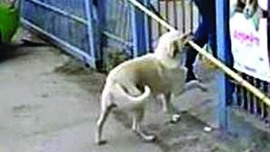 Cão atrapalhado em manobra impossível
