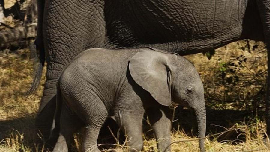 Ataques de elefantes também colocam vidas humanas em risco.